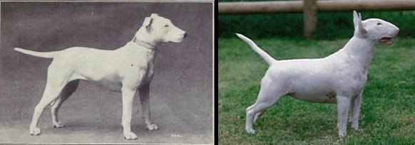 "100 Years of Breed ""Improvement"" 