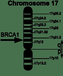 498px-BRCA1_en