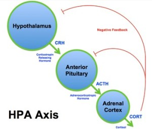 http://en.wikipedia.org/wiki/Hypothalamic-pituitary-adrenal_axis