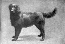 Flat coated retriever.  Encyclopaedia Britannica, 11th Edition