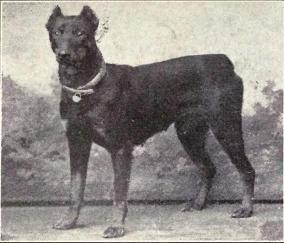 Large Dog Icelandic Dog Breeds Bgining With Letter M